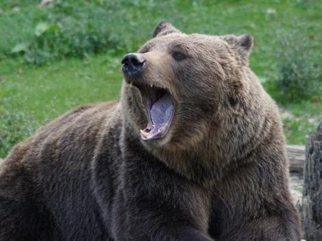 Intenzív osztályra került a medvetámadás áldozata