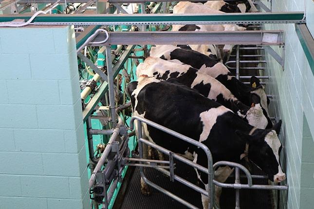 tejelő szarvasmarha telep