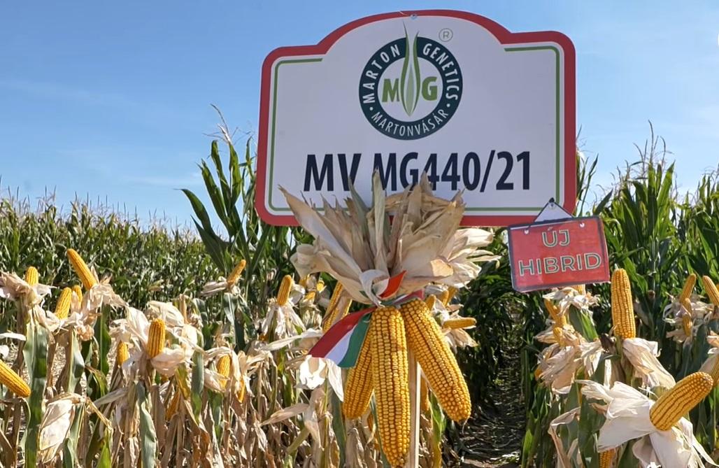 Új Marton Genetics kukoricahibrid fajtasorban