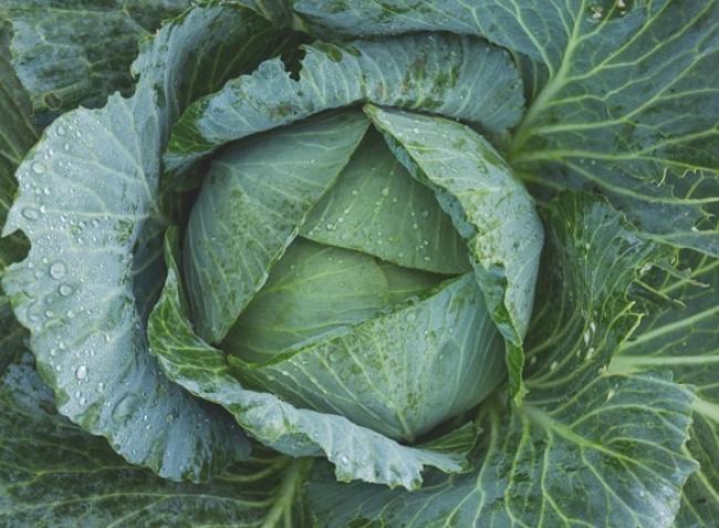 Fejes káposzta: a zöldség, amin idén az öntözés sem segített