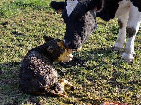 Most végre kiderült, zavarja-e a tehenet az ellésjelző
