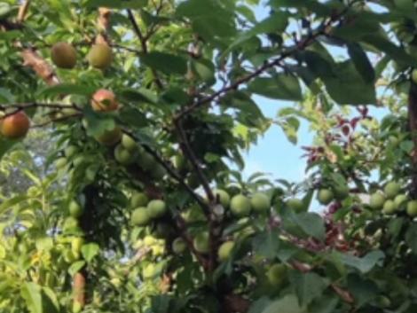 Elképesztő látvány! 40 gyümölcsfajta egyetlen fán!
