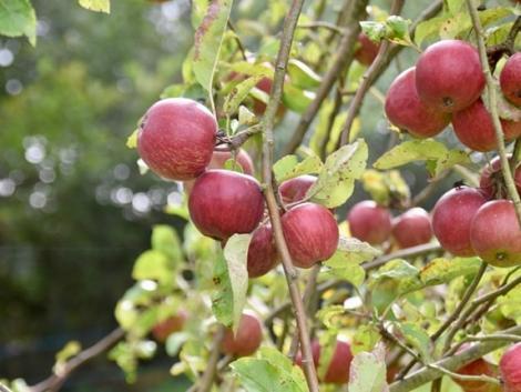 Ideje beszerezni a gyümölcsfa-oltványokat! Mire figyeljünk, hogy ne járjunk rosszul?
