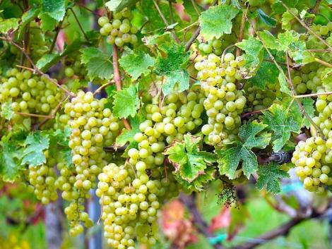 Mennyiségben nem az igazi a szőlőtermés, de a minőségre nem lesz panasz