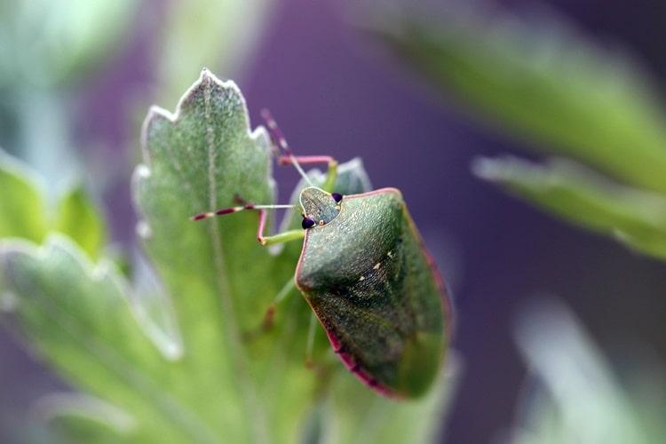 zöld vándorpoloska krizanténumon