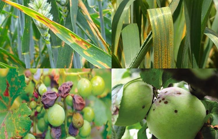 növénybetegségek