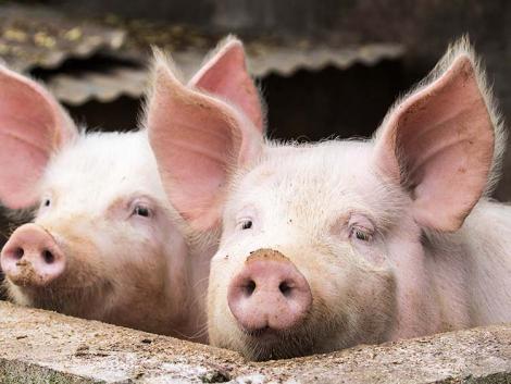 Német sertésválság – a gazdálkodók jelentős része szabadulna az állománytól