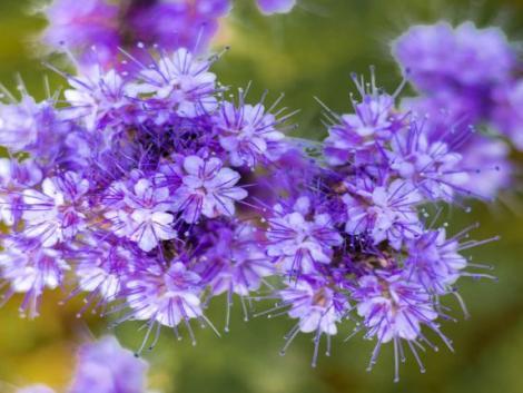 Hónapokon át tartó mézeshetek. Facélia, az új szupernövény.