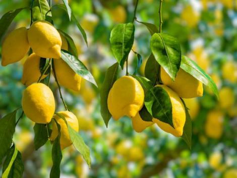 Neked is lehet saját citromfád