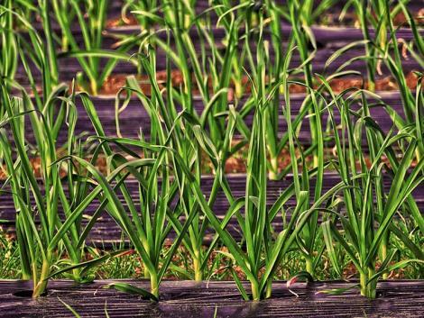 Termőföld-kímélő mulcsozás: fólia helyett biopapír