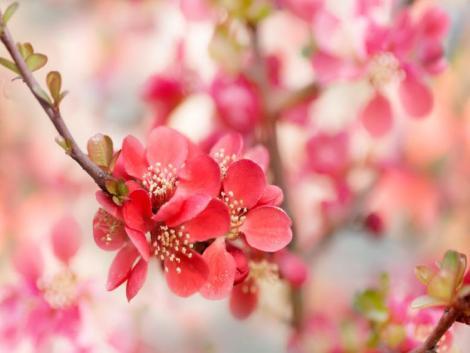 Meg merjem-e enni a japánbirs gyümölcsét?