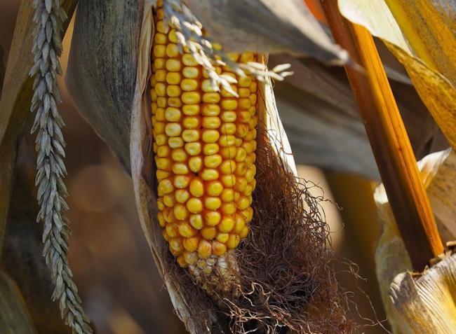 Lesújtó hírek érkeztek a kukoricatermésről
