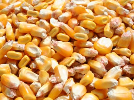 Export regisztrációs kötelezettséget vezetne be a takarmánykukoricára az agrárminiszter
