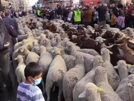 Tömegével vonultak a birkák Madrid utcáin