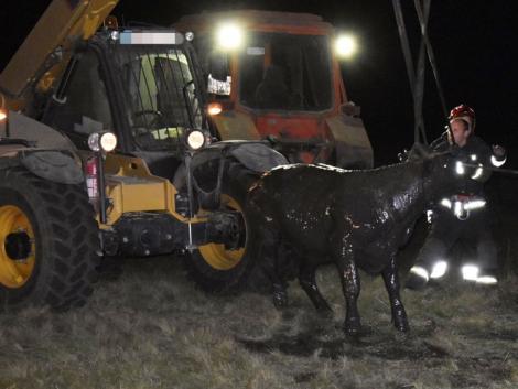 Kútba zuhant a szarvasmarha – traktorral tudták kimenteni