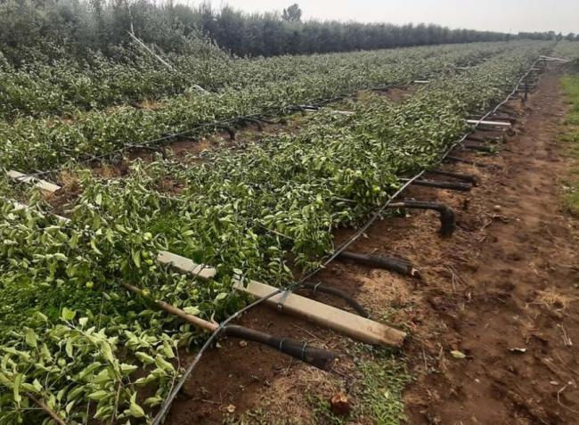 Sokkoló látvány! Teljes alma ültetvényt döntött ki tövestül a vihar!
