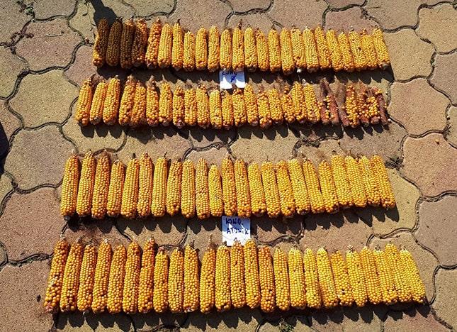 Az Atonikkal való kezelés hatása a hibrid kukorica terméskötődésére
