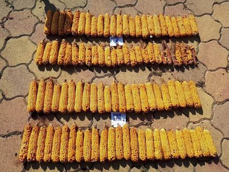 Természetes ösztönzés a kukoricának – termésnövelés egy különleges biostimulátorral