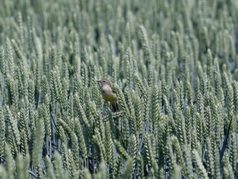 Amikor a búza úgy nő, mint a gomba! Miért jó a frakcionált vetőmag?