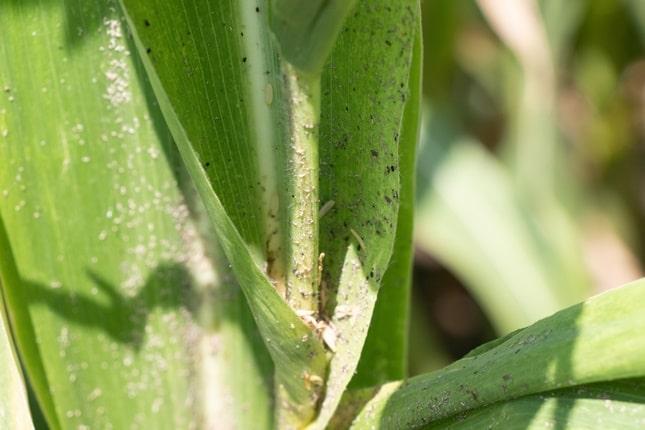kukorica levéltetű