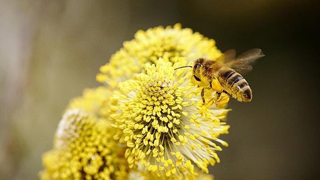 beporzó méh virágon