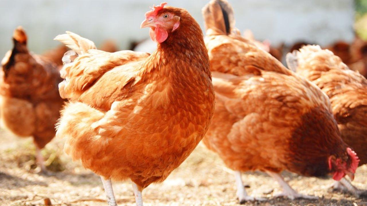 A madárinfluenza világszerte óriási gondokat képes okozni. Fotó: 123rf.com