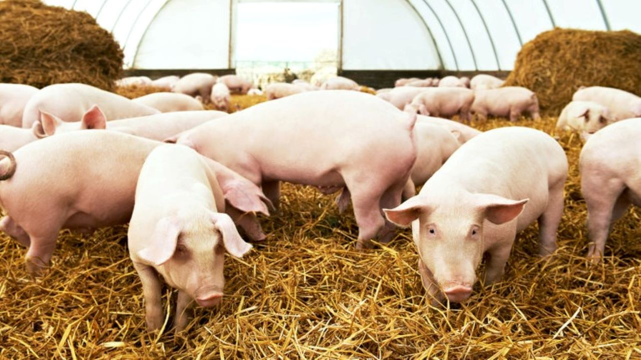 A sertéspestis ellen indítanak kampányt. Fotó: 123rf.com