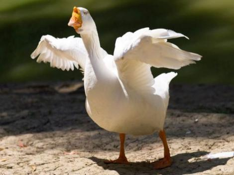 A hír nem kacsa! Kacsából is készülhet libamáj!