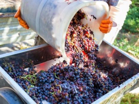 Gondban a szőlőtermesztők - csúszik a szüret