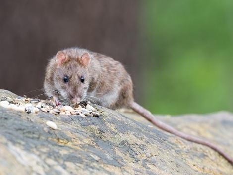 A patkányok 2 ezer milliárd forintnyi kárt okoztak Európának 60 év alatt