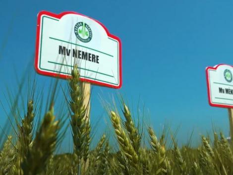 Mv Nemere: Könnyen termeszthető és komplex rezisztenciával rendelkező búzafajta