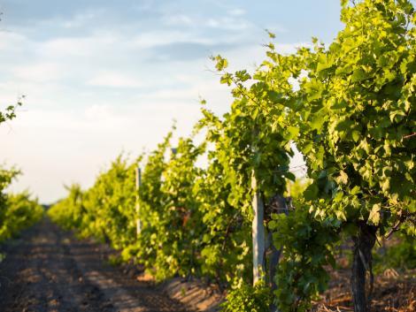 Oltalom alatt álló eredetmegjelölést kaphatnak a Sümeg környéki borok