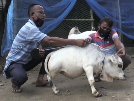 Rani egy törpe tehén – és máris milliók kedvence – Videó
