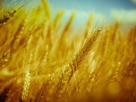 Tonnákban mérhető különbség! Ez bevált a gabonafutrinka ellen őszi búzában!