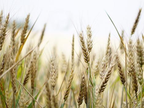 Elkezdődött a lejtmenet? Zuhan a kukorica ára