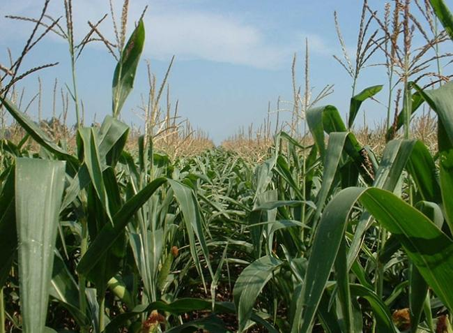 A termés rekordgyanús, mégis csúcson a kukoricaárak