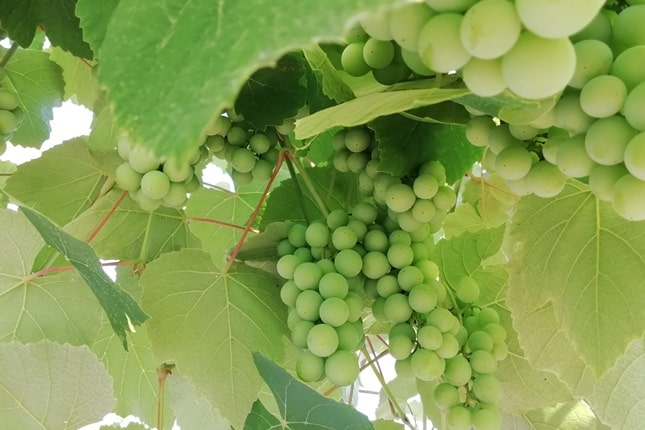 direkttermő szőlőfajta