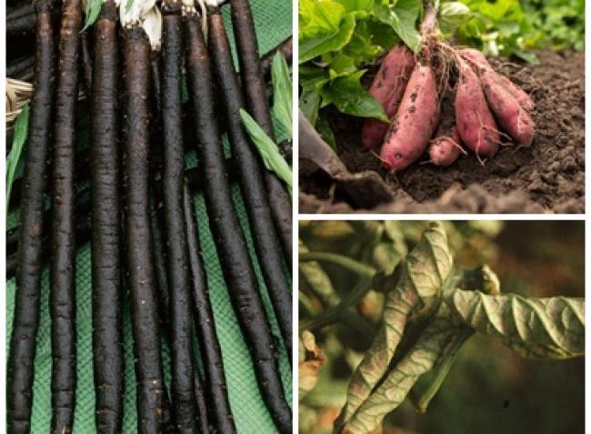 Gyümölcsfavédelem a jó termésért, ijesztő tünetek a paradicsomon, ezt vesd szeptember elején