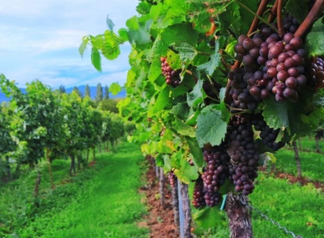 Ezeket a munkákat most fontos elvégezni a szőlőben a jó termésért!