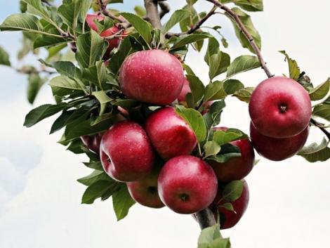 Fordulat az almatermesztésben – nagy dobásra készülnek a lengyelek