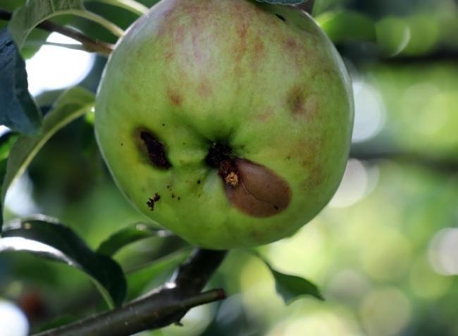 Növényvédelmi előrejelzés: Az alma és a dió rettegett ellensége most nagy károkat okozhat!
