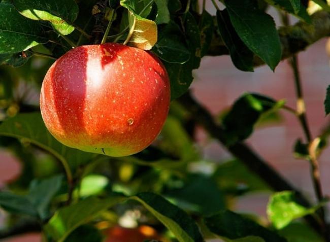 Nyugtalanító hírek az idei almatermésről