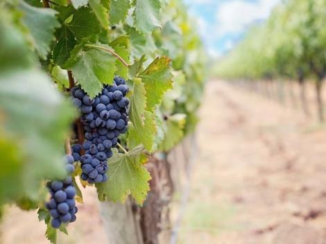 Célirányos védekezés a szőlőben – így lehet hatékonyabb a permetezés