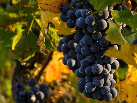 Történelmi mélypontra süllyedt a francia bortermelés