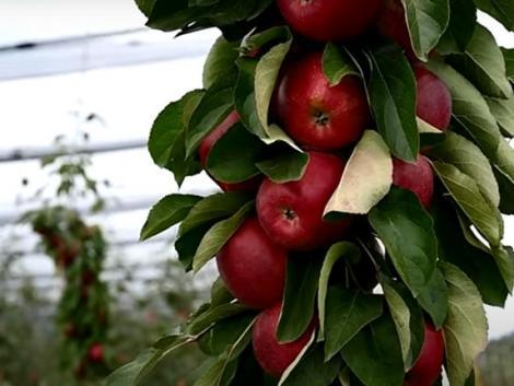 Összefogás a sikeres almatermesztésért