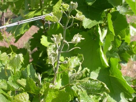 Kórtan és védekezés a szőlőben
