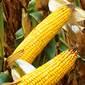 Komplex megoldás a biztonságosabb kukoricatermesztésért